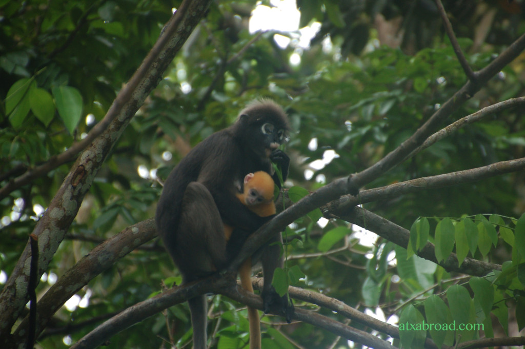 Dusky Leaf Monkey and Baby